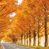 メタセイア並木の紅葉の紅葉の見ごろはいつでしょう?混雑を避けるためには、どうしたらいいのでしょうか?