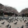 2017年は、上野公園でお花見をしよう!!桜の開花や見頃の時期など、お花見情報満載!? 一度は、読まなきゃ損。