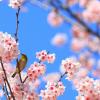 鎌倉の桜を見に行こう。開花や見頃の時期と桜の穴場情報多数あり!!