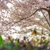 2017年は、井の頭公園へお花見に行こう!! 開花や見頃の時期。 ライトアップなどお花見情報丸わかり