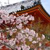 2017年嵐山の桜、 開花、混雑情報発信します。