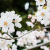 大宮公園でお花見をやろう!  開花や見頃、屋台などお花見必須情報多数あり!