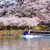 2017年は恵那峡の桜でお花見をしよう。恵那峡の桜の開花や見頃等のお花見情報満載