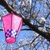 各地で桜祭り開催 神奈川県内の桜祭り2017 屋台やイベント情報も